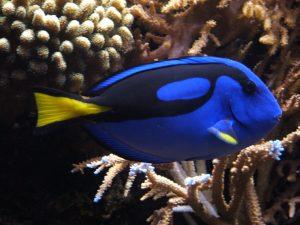 Dory Blue Tang Fish